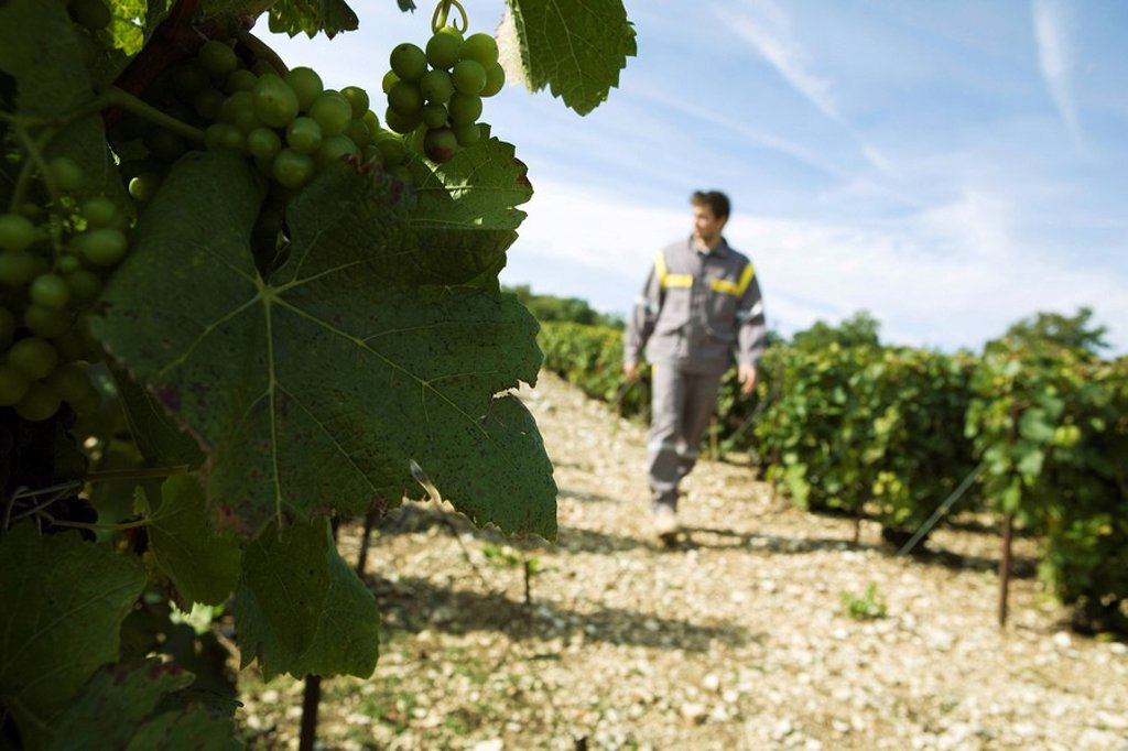 France, Champagne-Ardenne, Aube, white grapes on vine, man walking along vineyard path in background : Stock Photo