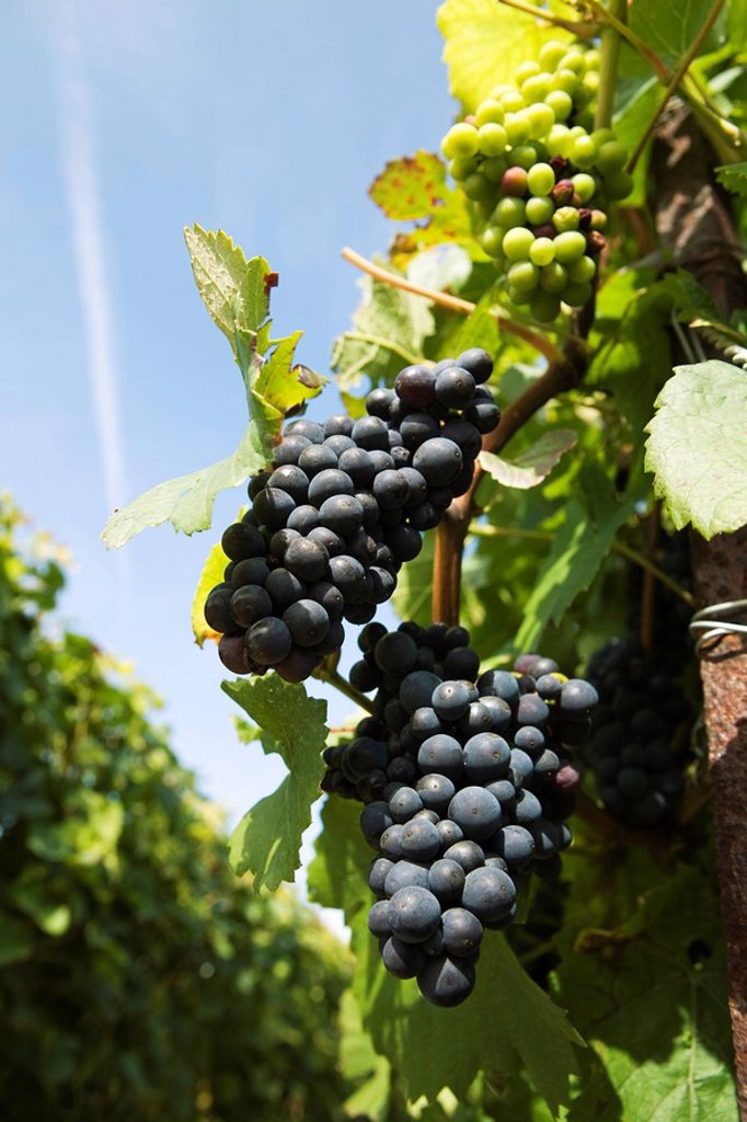 Stock Photo: 1569R-9065142 France, Champagne-Ardenne, Aube, grapes growing on vine