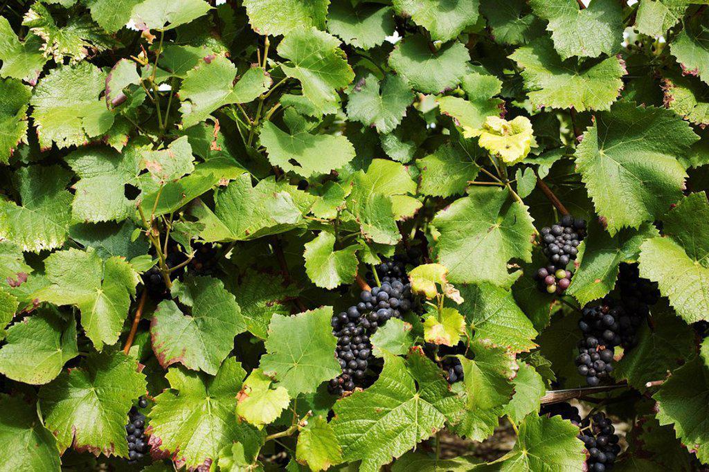 Grapevine, full frame : Stock Photo