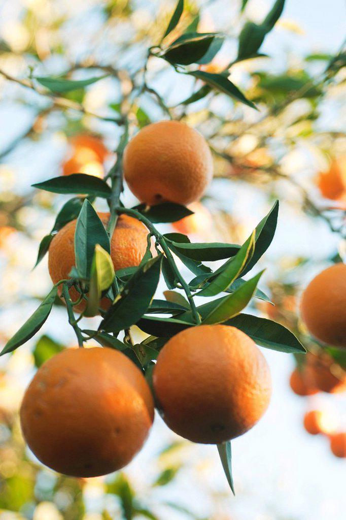 Orange tree heavy with ripening fruit : Stock Photo