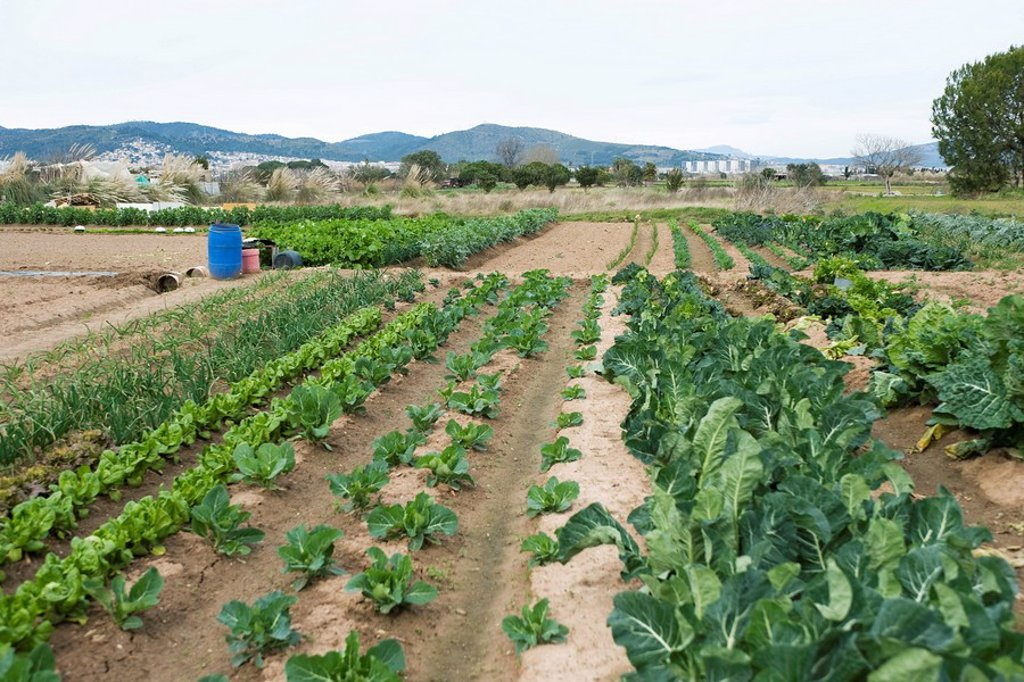 Variety of vegetables growing in field : Stock Photo