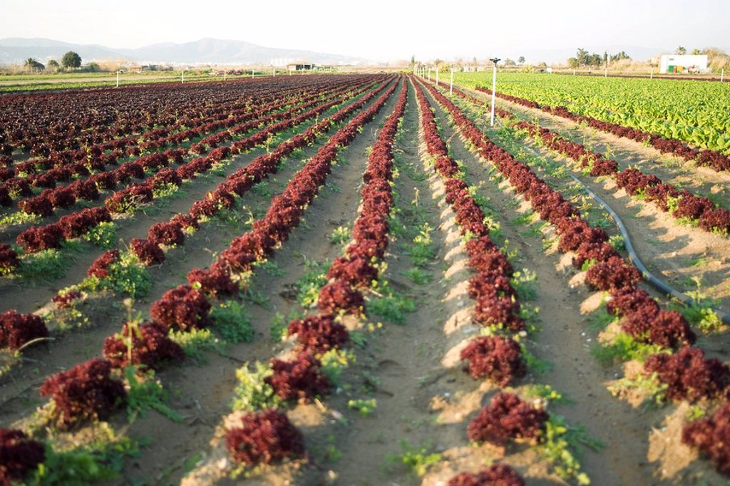 Rows of merlot lettus growing in field : Stock Photo
