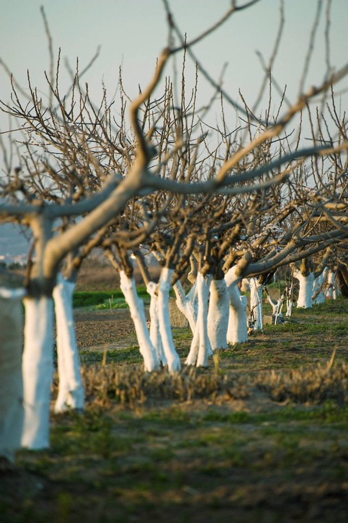 Bare fruit trees in orchard : Stock Photo