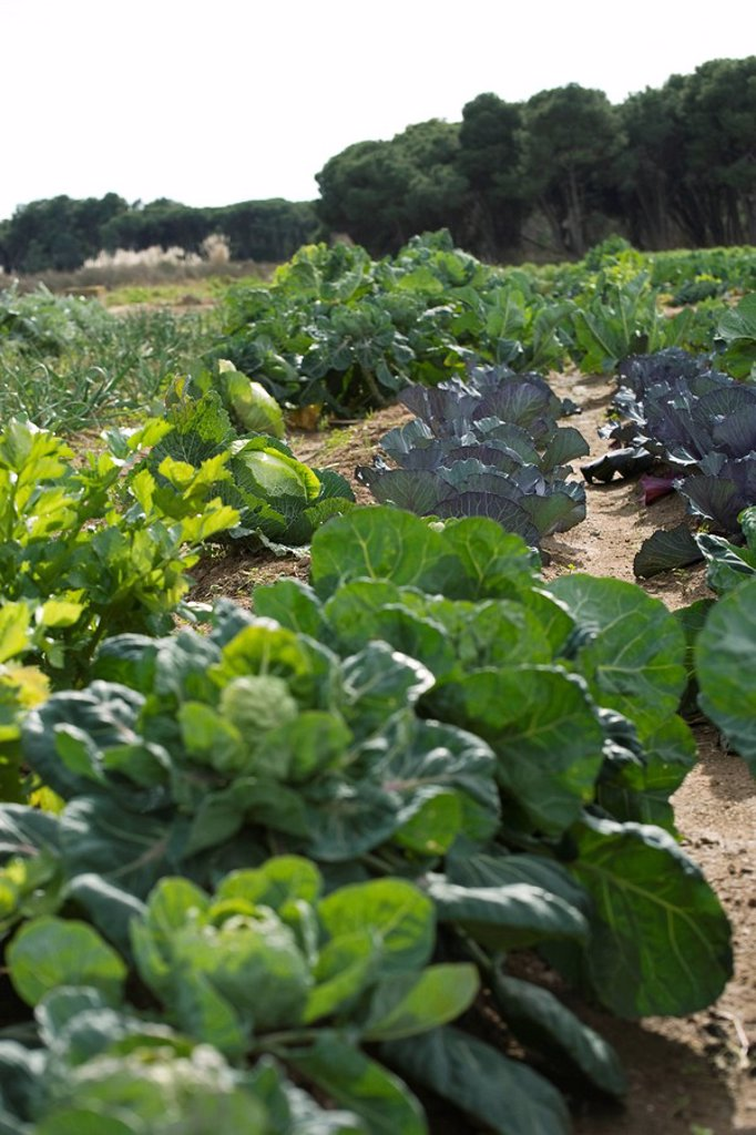 Cabbage, lettuce growing in vegetable garden : Stock Photo