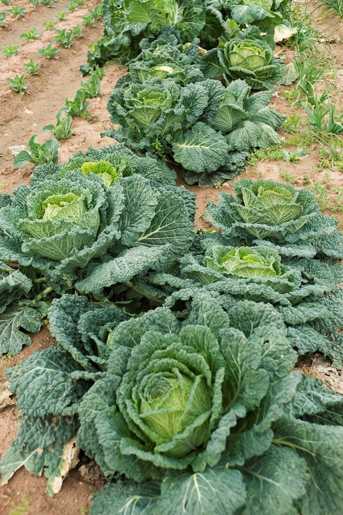 Large heads of cabbage growing in vegetable garden : Stock Photo