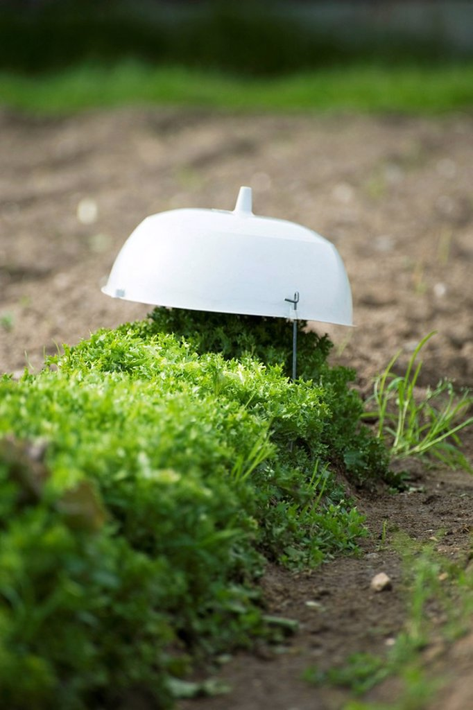 Frisee lettuce covered, growing in vegetable garden : Stock Photo