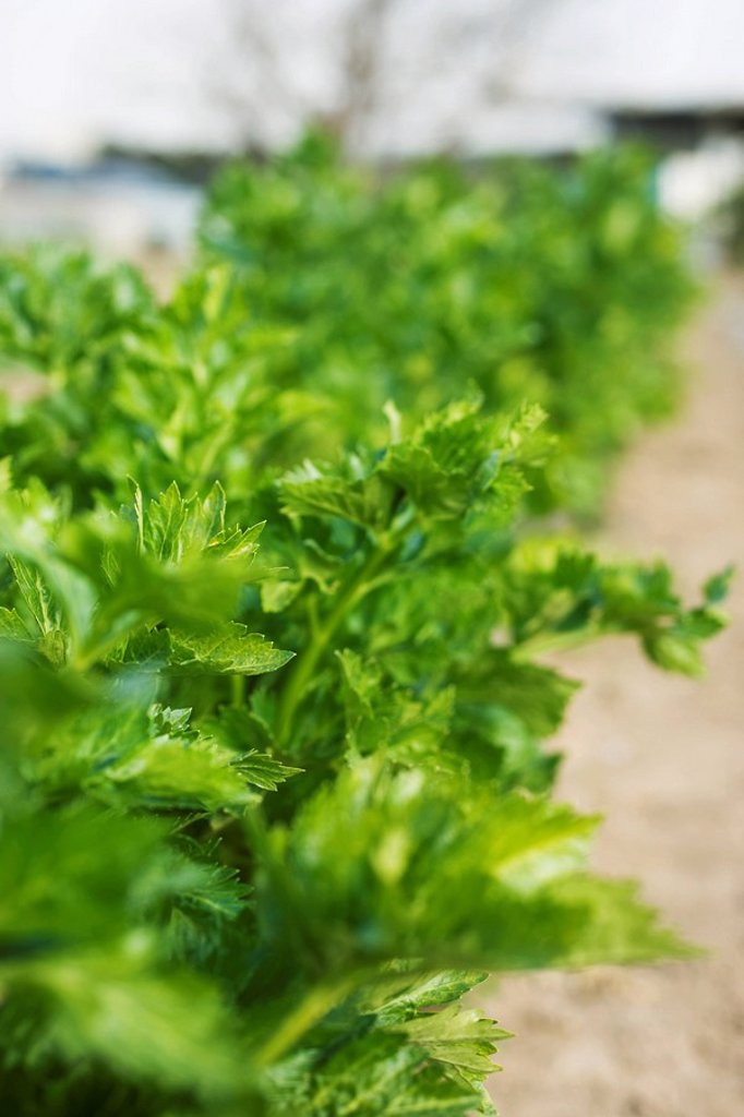 Stock Photo: 1569R-9066303 Leafy tops of celery stalks growing in vegetable garden