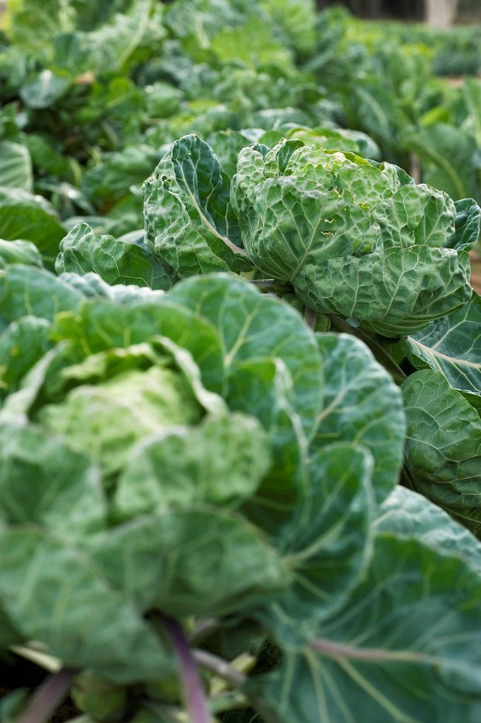 Cabbages growing in vegetable garden : Stock Photo