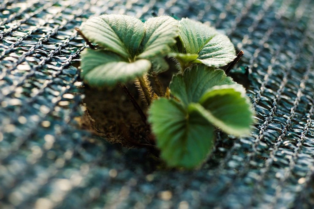 Stock Photo: 1569R-9066434 Strawberry plant growing in garden