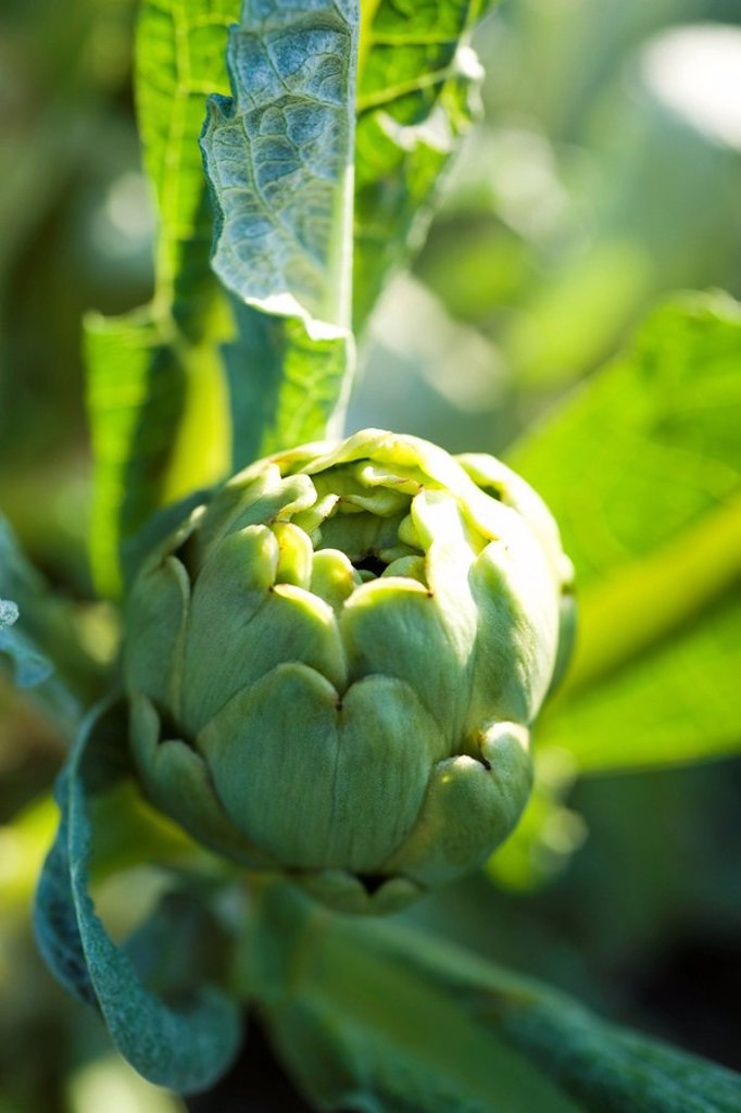 Stock Photo: 1569R-9066450 Artichoke growing in garden