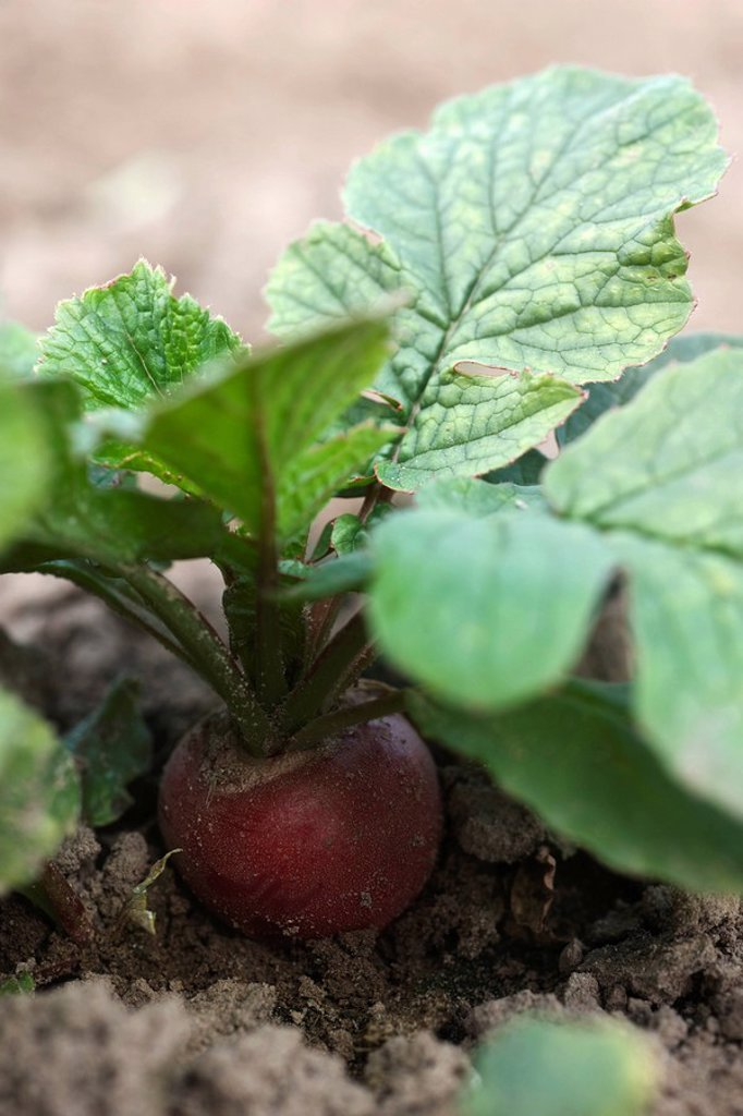 Stock Photo: 1569R-9066488 Red radish growing in vegetable garden