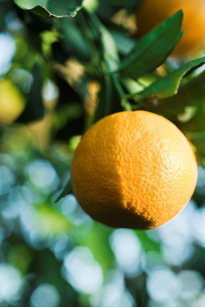 Stock Photo: 1569R-9066489 Clementine growing on tree, close_up