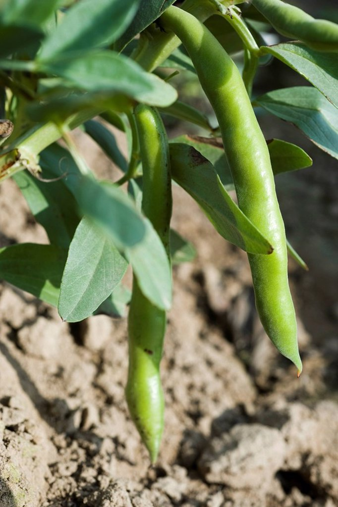 Broad beans growing in vegetable garden, close_up : Stock Photo