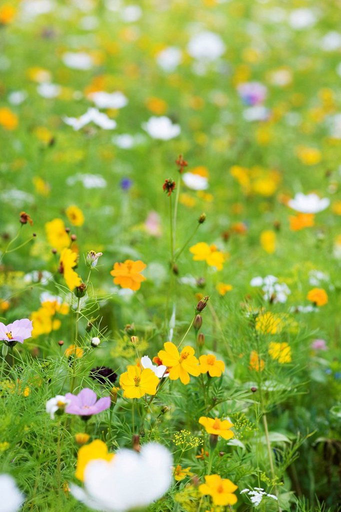 Cosmos growing in field : Stock Photo