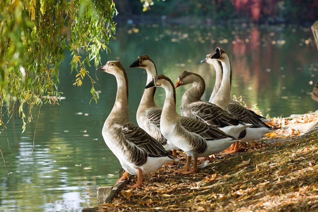 Geese standing at water´s edge : Stock Photo