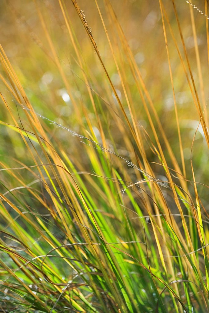 Stock Photo: 1569R-9066649 Tall grass, close_up
