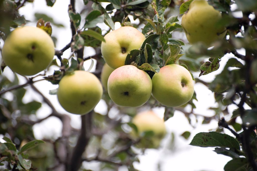 Stock Photo: 1569R-9067541 Apples growing on tree