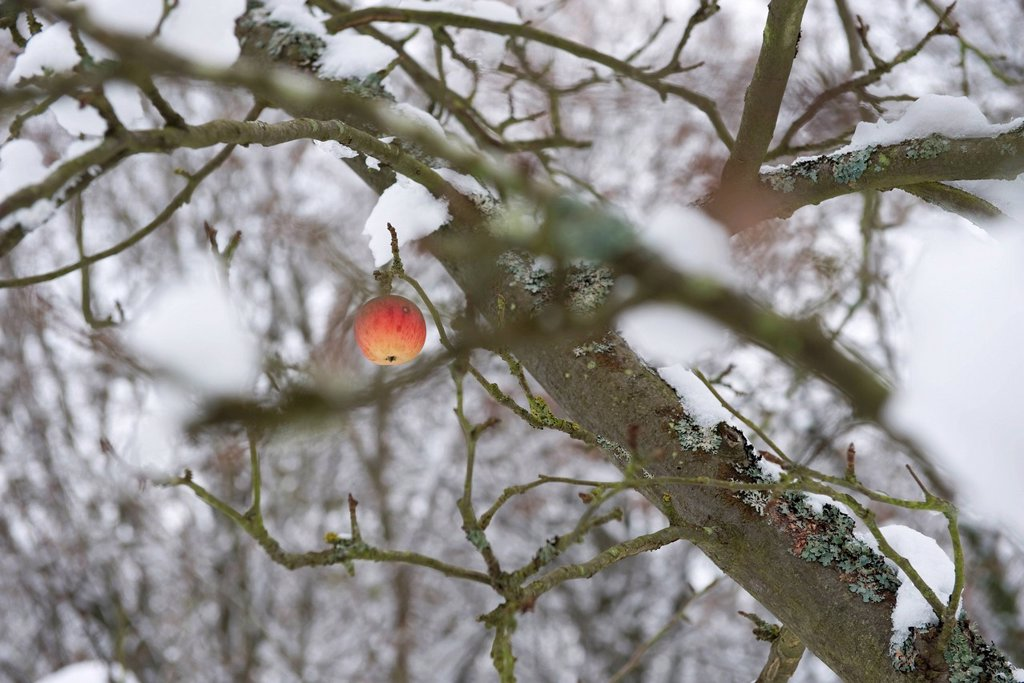 Single apple on snow_covered tree : Stock Photo