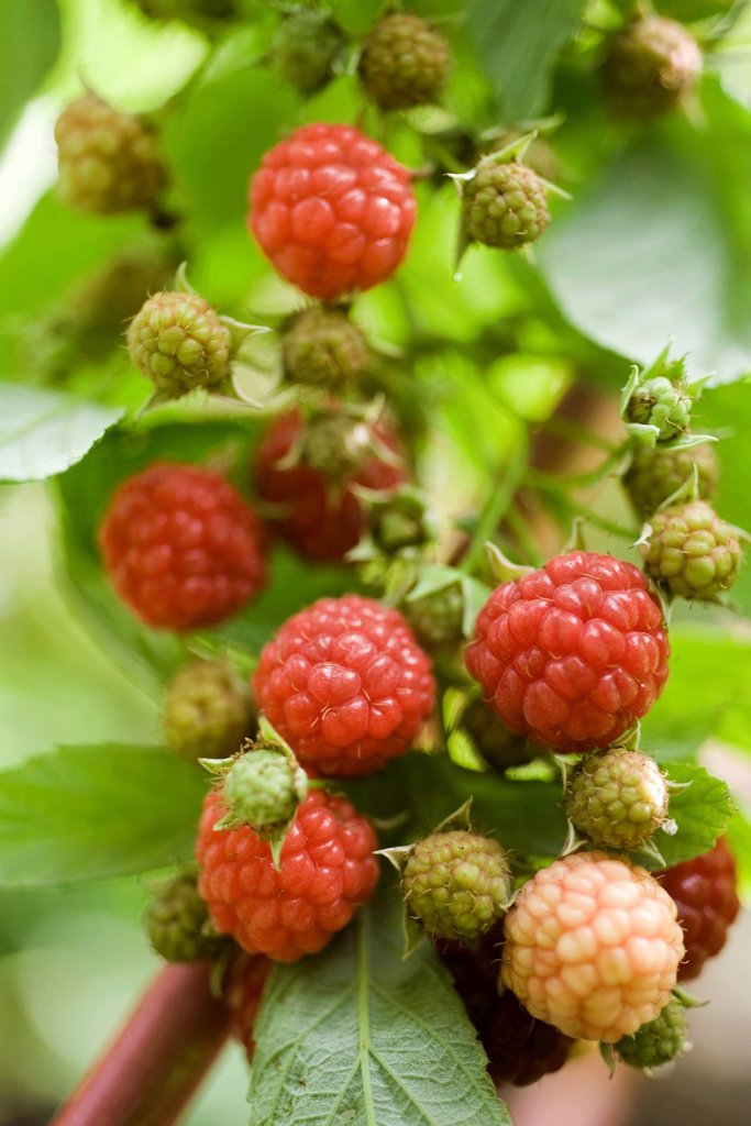 Raspberries ripening on bush : Stock Photo