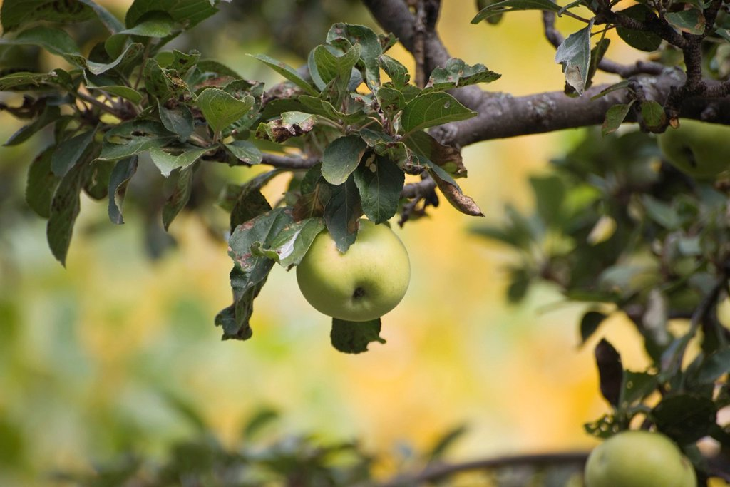 Apples growing on tree : Stock Photo