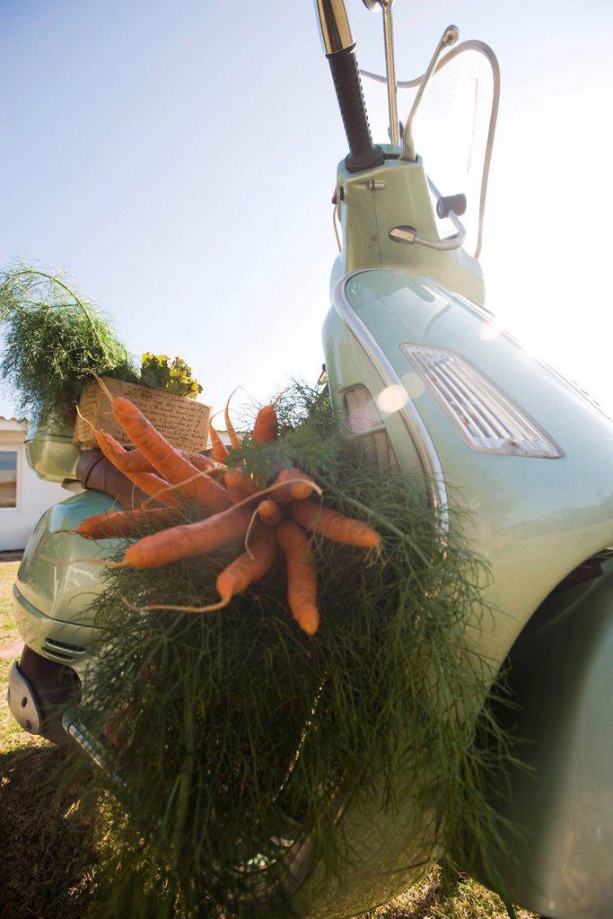 Harvesting carrots : Stock Photo
