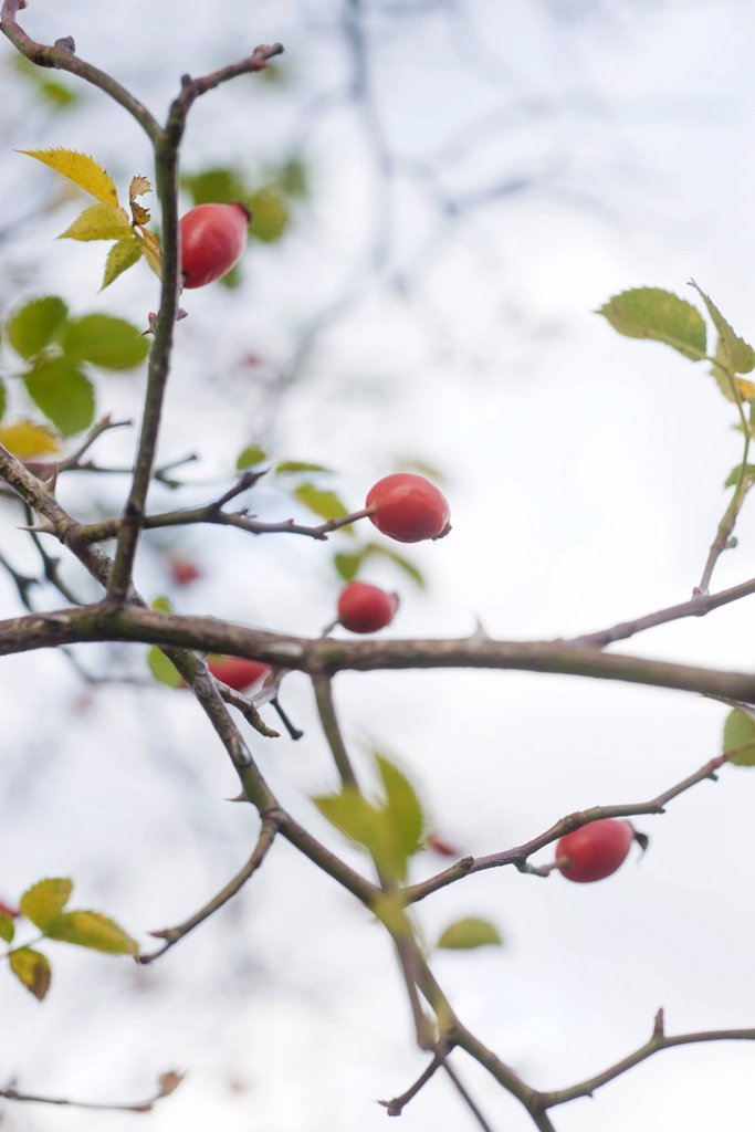 Rosehips : Stock Photo