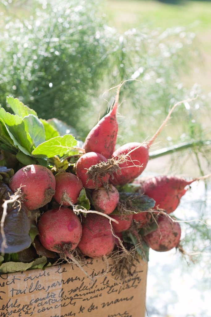 Stock Photo: 1569R-9069866 Fresh radishes and other produce