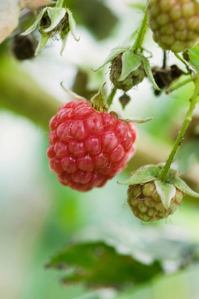 Raspberry ripening on bush : Stock Photo