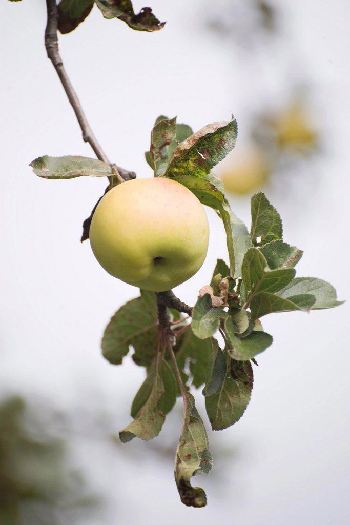 Apple growing on tree : Stock Photo