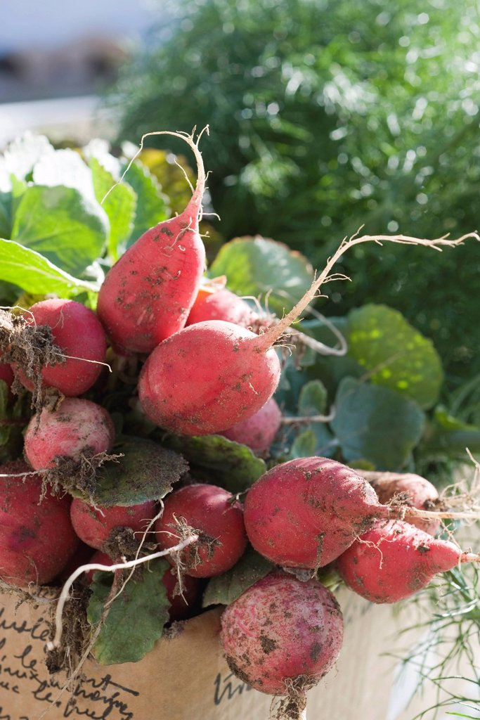 Stock Photo: 1569R-9069900 Fresh radishes