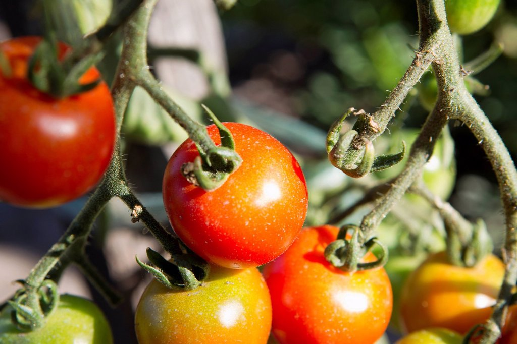 Stock Photo: 1569R-9073503 Tomatoes ripening on plant