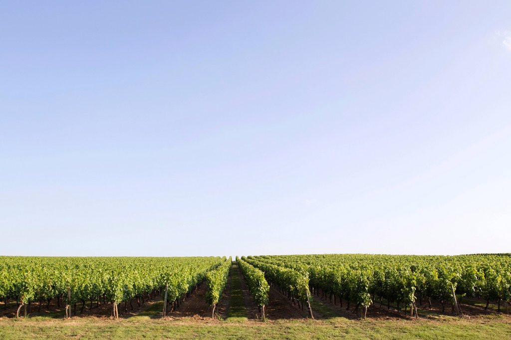 Stock Photo: 1569R-9073609 Vineyard, Bordeaux, France