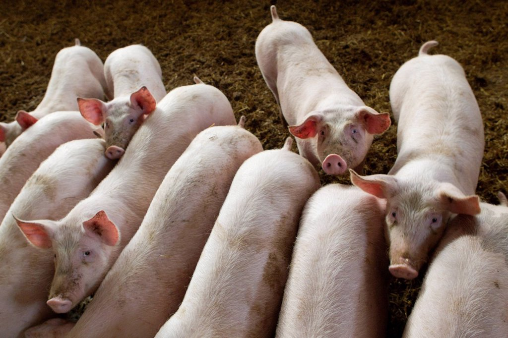 Pigs in pigpen : Stock Photo