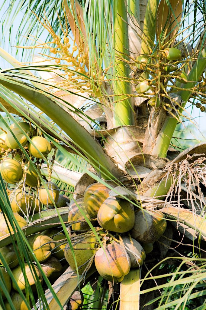 Coconuts growing on tree : Stock Photo