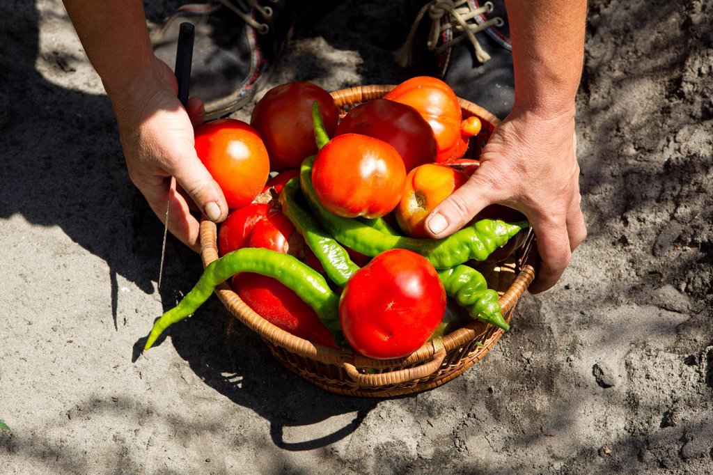 Person picking up basket filled with fresh tomatoes and chili peppers, cropped : Stock Photo
