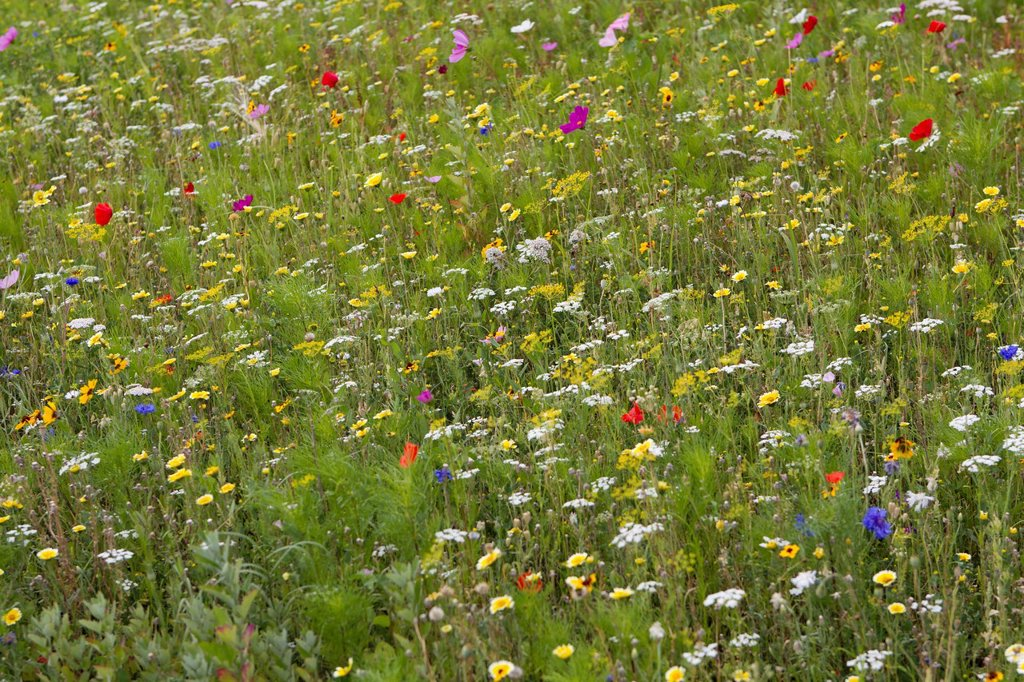 Stock Photo: 1569R-9074030 Wildflowers growing in meadow, full frame