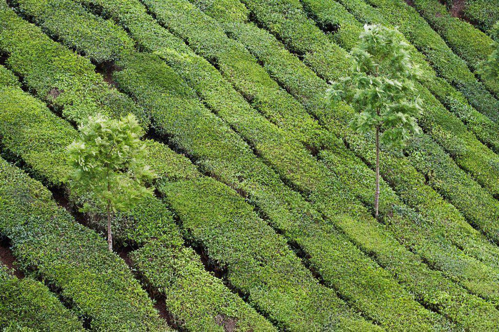 Stock Photo: 1569R-9074071 Tea plantation, India