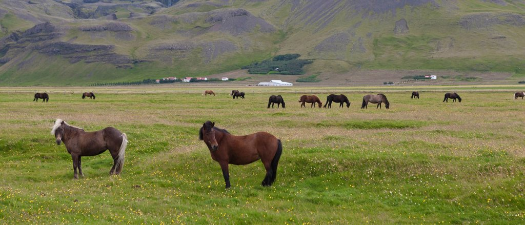 Stock Photo: 1569R-9074535 Icelandic horses grazing in pasture, Iceland