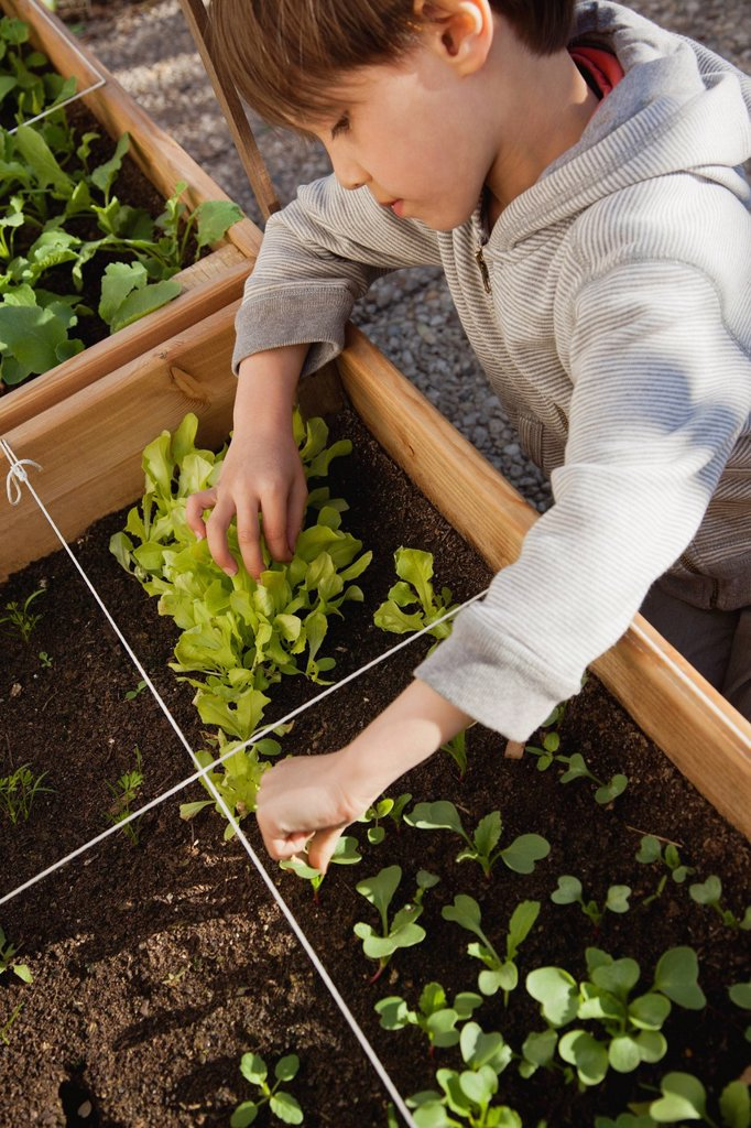 Boy looking at seedlings in vegetable garden : Stock Photo