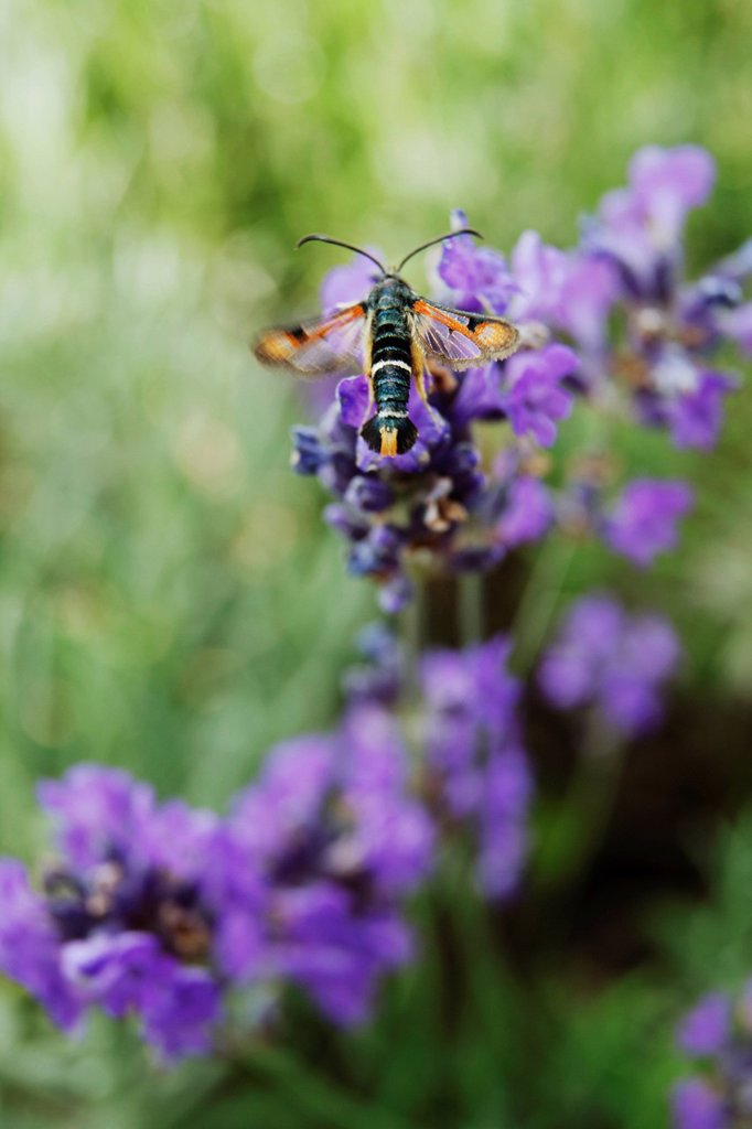 Stock Photo: 1569R-9075996 Fiery clearwing Pyropteron chrysidiformis on lavender