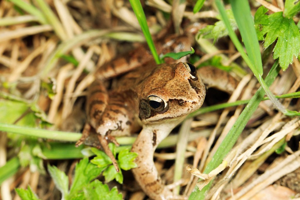 Stock Photo: 1569R-9076721 Common frog Rana temporaria