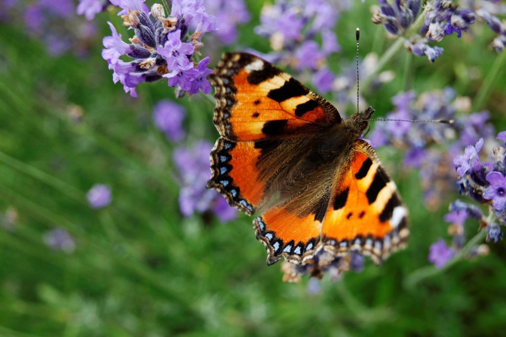 Small Tortoiseshell butterfly Aglais urticae on lavender : Stock Photo