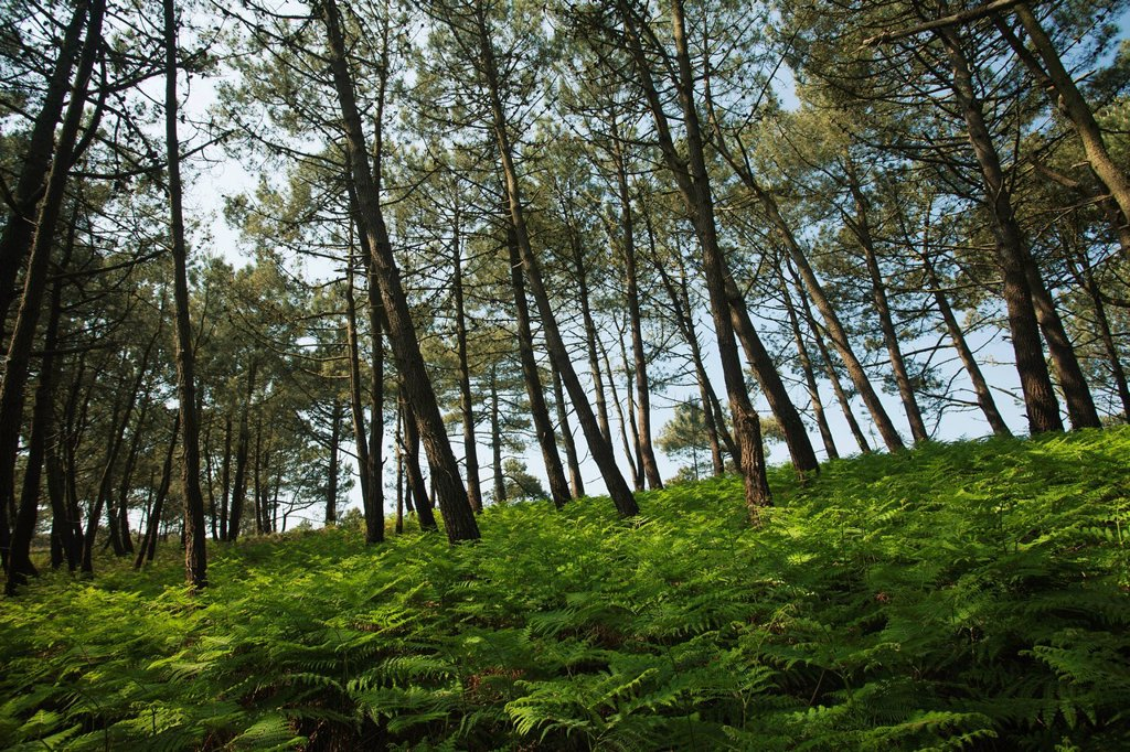 Stock Photo: 1569R-9077538 Pine woods, Crozon Peninsula, Finistre, Brittany, France