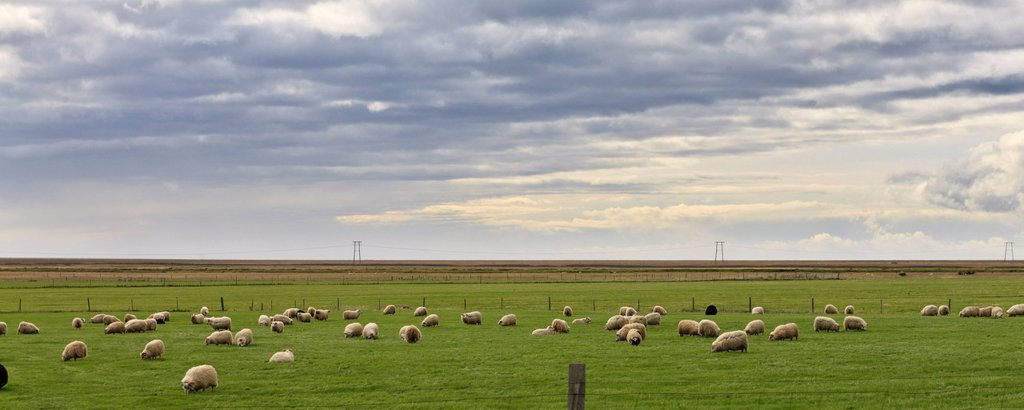 Stock Photo: 1569R-9077877 Iceland, panoramic view of sheep grazing in field