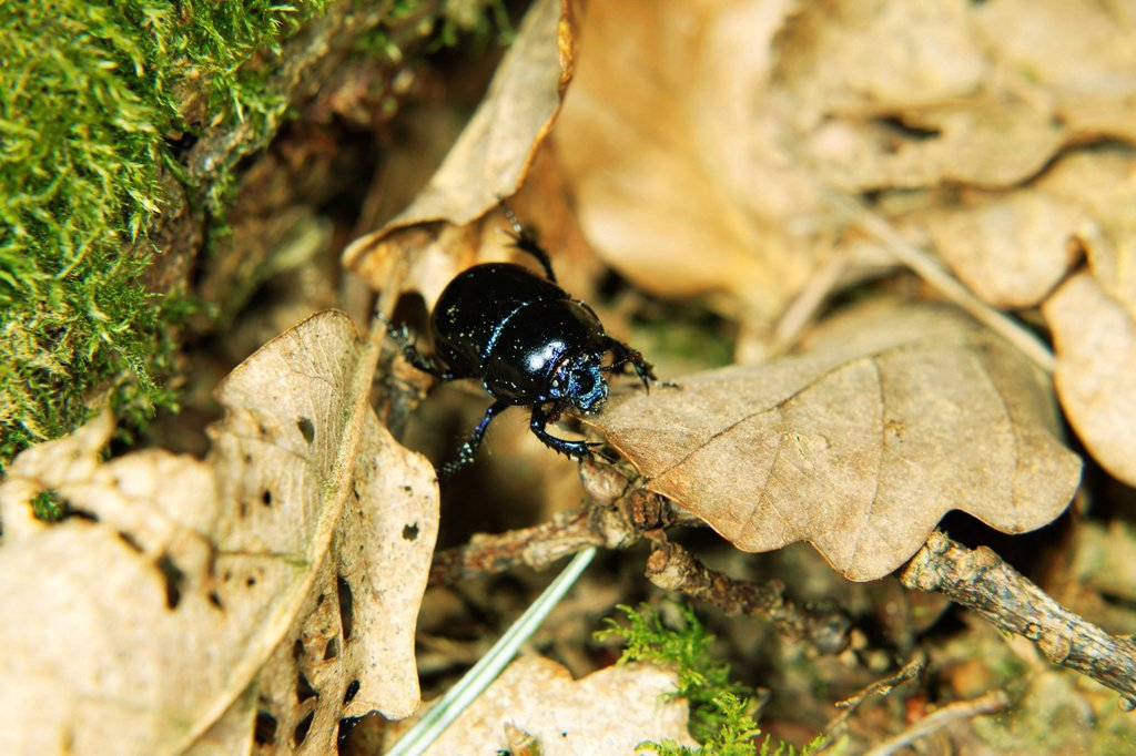 Stock Photo: 1569R-9078160 Black beetle