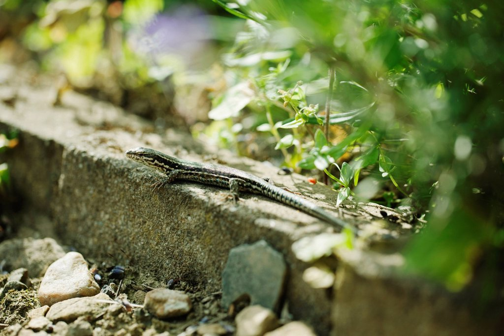 Stock Photo: 1569R-9078164 Lizard