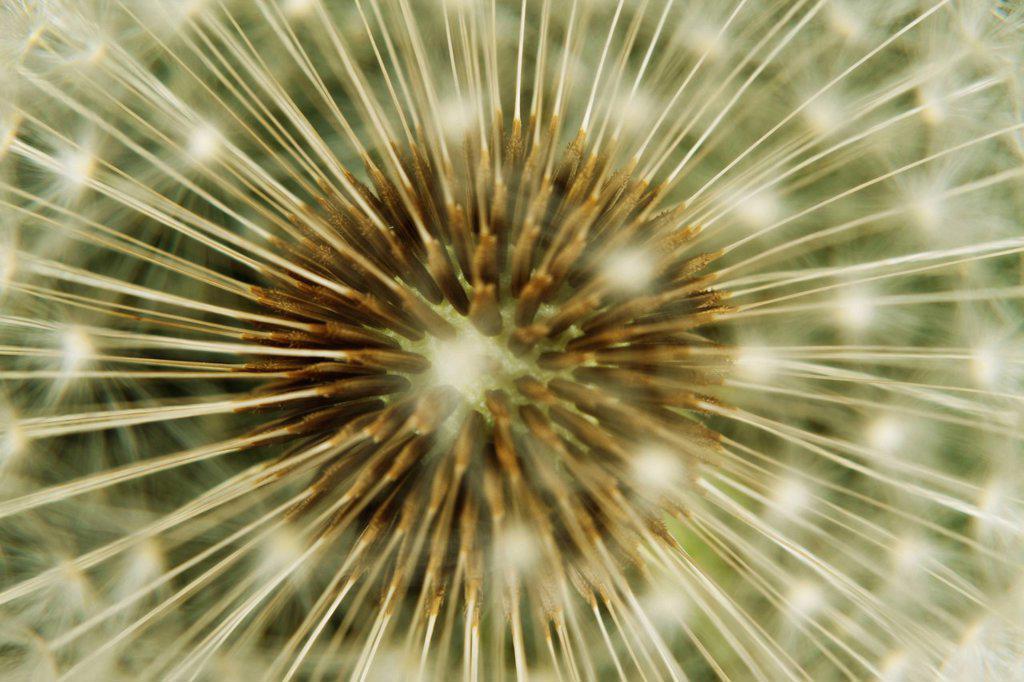 Dandelion seedhead, extreme close_up : Stock Photo