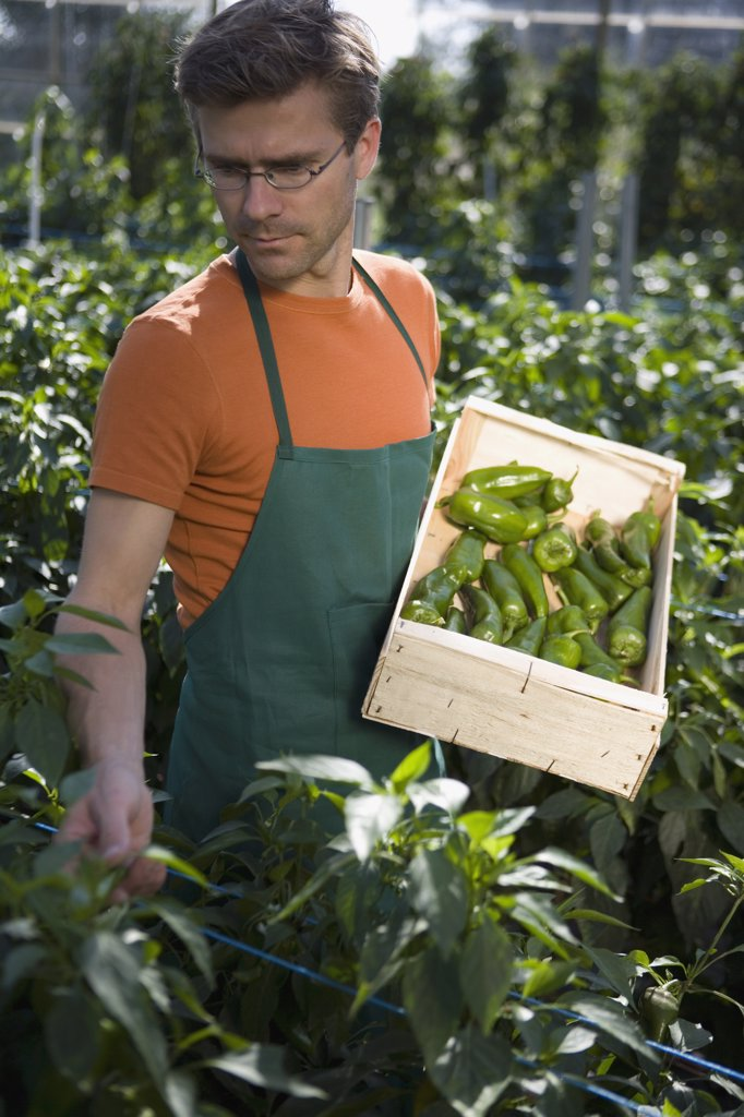 Stock Photo: 1570R-113805 Man picking green bell peppers in greenhouse