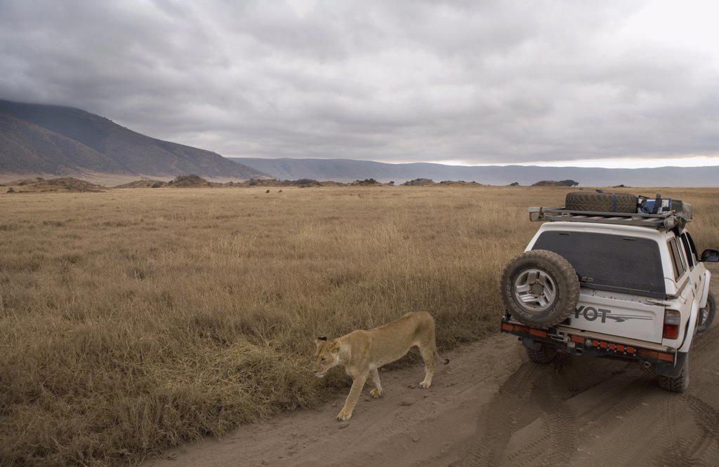 Lioness walking past safari vehicle : Stock Photo
