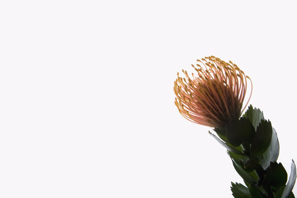Silveredge Pincushion (Leucospermum patersonii) : Stock Photo